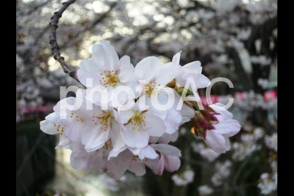 Sakura3の写真