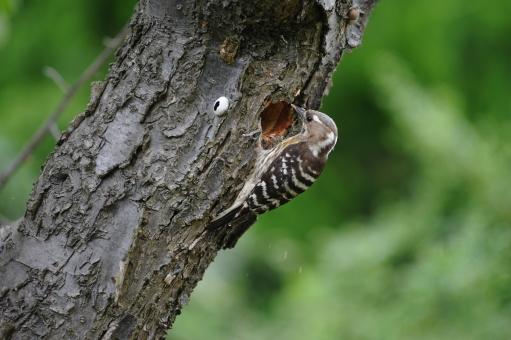 コゲラ 小啄木鳥 小啄木 キツツキ 啄木鳥 ドラミング 白 茶色 斑点 野鳥 緑 巣作り 巣穴 繁殖 バードウォッチング 観察 古木