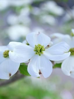 ハナミズキ 白い花の写真