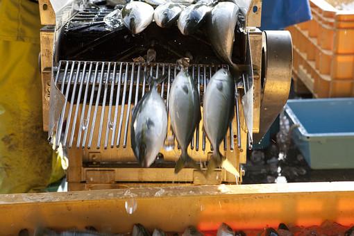屋外 野外 漁 海上 漁獲 漁り 魚 獲る 漁業 海 水揚げ かつお カツオ 鰹 機械 コンベア 仕分け 大量 大漁 釣り 漁獲 人 人物 漁師