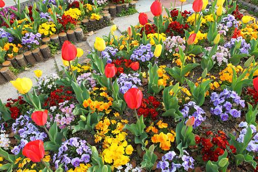 花 花畑 チューリップ 花壇 カラフル 満開 背景 明るい 屋外 晴れ 赤 きれい 綺麗 沢山 爽やか 無人 咲く 華やか 黄 一面 群生 いっぱい 全面 すみれ 緑 地面 ガーデン ガーデニング 庭