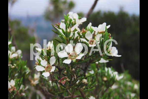 マヌカ ハニー 花 蜂蜜 マヌカハニーの花 植物 ニュージーランド オーストラリア 2の写真