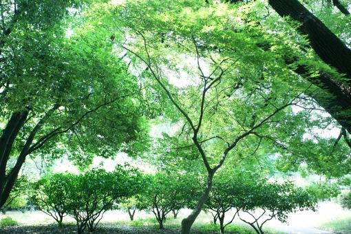 自然・風景 植物 樹木 木の葉 葉っぱ 新緑 若葉 新芽 初夏 夏 夏イメージ 夏景色 木陰 木漏れ日 涼し気 待ち受け画面 ポストカード コピースペース 背景 野外アウトドア 森・林・公園 バックグランド バックスペース 緑に囲まれて 緑の葉っぱ エコ・環境 緑豊か 季節感 五月・六月 七月・八月