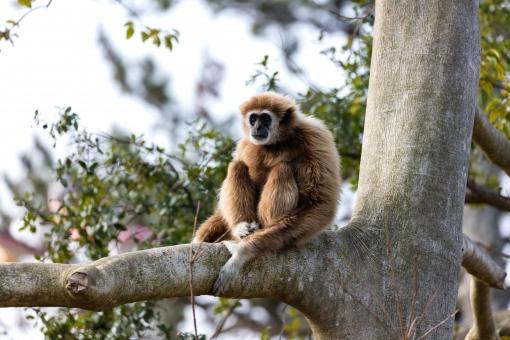 猿のシロテテナガザル