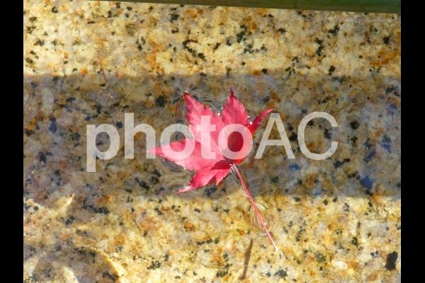 秋のイメージ 紅葉の落葉(赤い楓)の写真