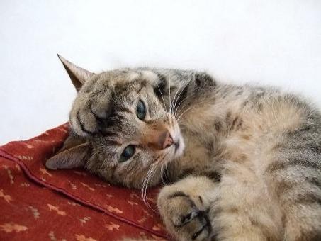 ネコ 猫 CAT 猫の手 頭に乗せる 寝そべった 困る 悩む 考え中 考え事 抱え込む 目を開けた 顔 う~ん 動物 家猫 飼い猫 室内猫 かわいい 手を頭に くつろぐ リラックス 仰向け 参った ちゃこ 考える 表情 頭を抱える うつろ ぼんやりする