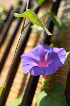 花 朝顔 アサガオ あさがお アサガオの花 朝顔の花 あさがおの花 植物 アップ 緑色 葉 夏 真夏 花びら 満開 朝 紫色 緑の葉 開花 ガーデニング 咲く 園芸 つる 風物詩 夏の花 一年草 植物 緑のカーテン すだれ