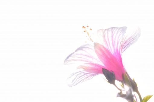 ハイビスカス はいびすかす ピンク 桃色 白 グラデーション 逆光 太陽 光線 光 透ける 透明 透明感 清涼感 明るい 花びら 夏 夏イメージ 花 植物 花木 木 6月 7月 8月 コピースペース 背景 白バック 文字スペース 壁紙 テクスチャ テクスチャー 花言葉 新しい恋