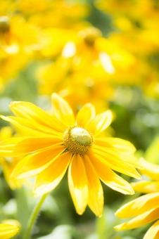 大反魂草 黄色 花 多年草 群生 植物 光