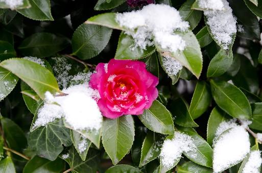 ツバキ 椿 雪 ゆき 冬 寒い 冷たい 雪解け 白い まっしろ 溶ける 水蒸気 結晶 氷晶 雪片 降る 積もる 積雪 降雪 天気 霰 雹 凍雨 細氷 霙 小雪 にわか雪 接写 アップ 木 植物 ピンク色