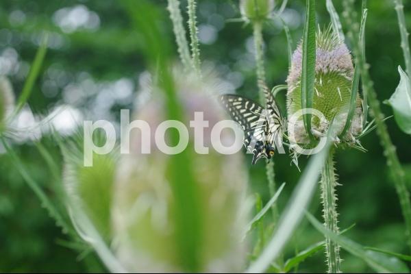 アゲハチョウとチーゼルの写真