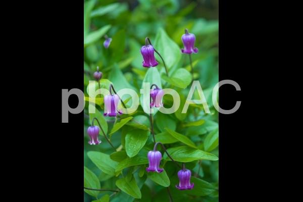 紫色のクレマチス(ベルテッセン)の写真