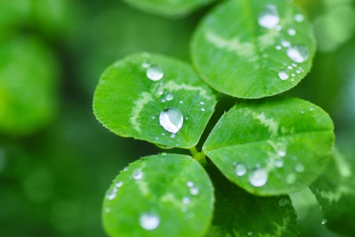 クローバー 水滴 緑 5月 5月 初夏 植物 フレッシュ 瑞々しい みずみずしい 雨上がり エコ 環境 みどり 素材 写真 画像 フリー 緑色 グリーン 葉 葉っぱ green clover エコロジー 優しい 自然 五月 雨粒