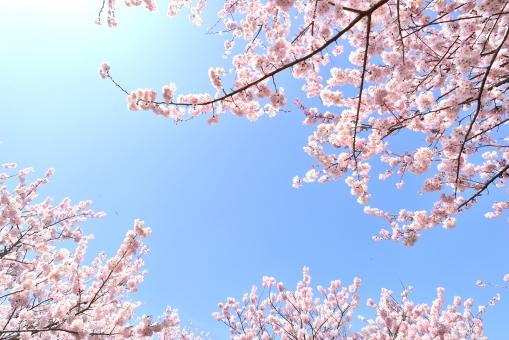 桜 青空 透過光 河津桜 さくら そめいよしの 染井吉野 ソメイヨシノ オウカン桜 テクスチャー 背景