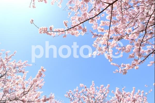 桜青空の写真