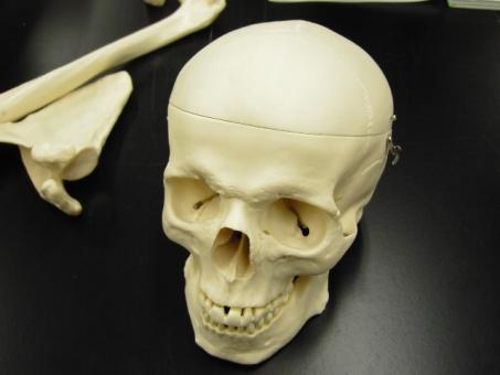 ガイコツ 骸骨 人体模型 模型 肩甲骨 頭蓋骨