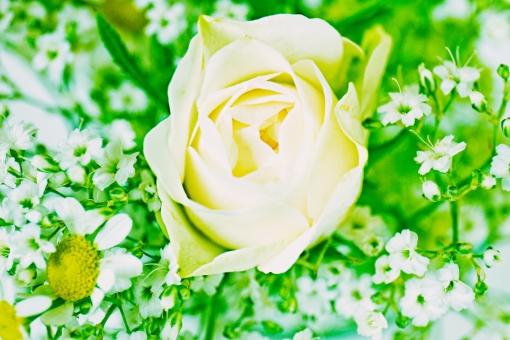 グリーン 緑 植物 自然 花 バラ ばら 薔薇 華やか 豪華 ゴージャス アップ エレガント 可愛い かわいい 可憐 ローズ 白 白薔薇 白バラ カモミール ハーブ 観葉植物 ブーケ 背景 壁紙 水色 花束 クローズアップ