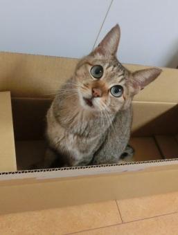 猫 ネコ カメラ目線 見つめる 顔 視線 表情 箱入り ダンボール箱 空き箱 座る 家猫 飼い猫 室内猫 ペット 動物 生きもの 目を開けた かわいい 可愛い ちゃこ cat
