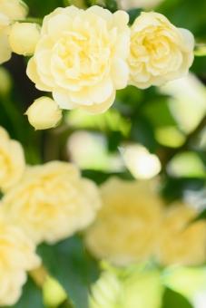 薔薇 バラ ばら モッコウバラ 黄色 淡い 花 植物 つる性 低木 庭 ガーデニング フレーム テクスッチャ 背景 バックグラウンド 文字スペース コピースペース 淡い黄色 明るい 光 縦 春 春の花 エレガント つるばら ツルバラ 蔓 つる 蔓薔薇