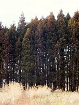 杉 スギ 杉林 山林 山 樹木 植物 緑 自然 花粉症 スギ花粉 杉花粉症 スギ花粉症 花粉アレルギー 自然 風景 背景 空 春 冬 飛散 くしゃみ 鼻水 鼻づまり 目がかゆい 痒み 花粉 アレルギー アレルゲン 体質