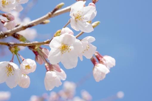 青空 桜 サクラ さくら 八分咲き ソメイヨシノ 花 華 フラワー 蕾 つぼみ cherry blossom 植物 春 卒業 入学 入社 出会い 別れ お祝い 祝福 幸 幸せ 花見 お花見 自然 風景 公園 白 青 水色 薄紅 ピンク 清楚 可憐 余白