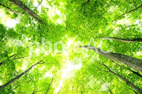 きらめくブナ林2の写真