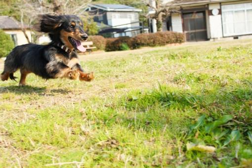 走る 犬 run しつけ dog 公園 休み 動物 動物病院 トリマー 緑 ダックス ミニチュアダックス waten watrenギャラリー 愛犬 犬好き 散歩