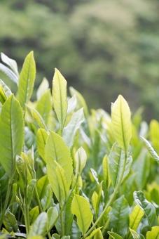 新茶 茶 新芽 新緑 茶 茶葉 緑茶 煎茶 5月 greentea 茶畑 煎茶 日本茶 せん茶 緑 初夏 和 八十八夜