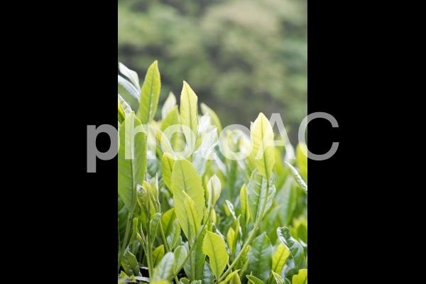 朝の茶畑の写真