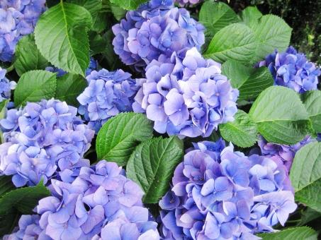 紫陽花 あじさい アジサイ 梅雨 hydrangea 花