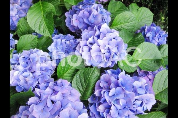 青いアジサイ9の写真