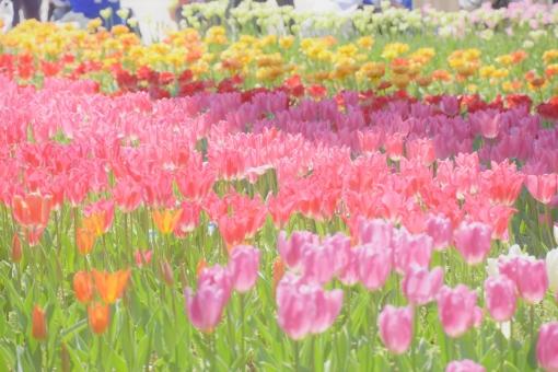 チューリップのお花畑の写真