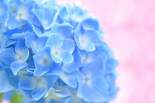 紫陽花 あじさい アジサイ 花 植物 青 青い ブルー 初夏 夏 梅雨 5月 6月 7月 パステル 背景 ピンク 壁紙 コピースペース 文字スペース クローズアップ アップ ふんわり 可愛い かわいい