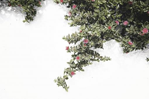 外国 海外 ヨーロッパ ギリシャ エーゲ海   地中海 サントリーニ島 屋外 外 旅行   観光 風景 景色 街並み 町並み  街角 花 植物 葉っぱ 赤 ピンク 背景 ガーデニング 園芸 壁 白壁
