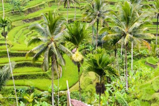インドネシア バリ バリ島 棚田 ライス 米 田んぼ 緑 文化 伝統 ヒンドゥー 観光地 旅 旅行 きれい 風景 自然 外国 海外 生活 ヤシの木 熱帯 山 食 タバナン 渓谷 谷 鮮やか 美しい 植物