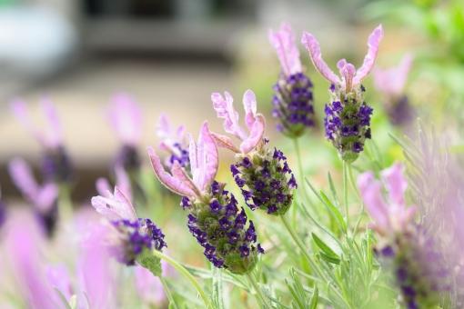 フレンチラベンダー ふれんちらべんだー ラベンダー らべんだー 花 植物 花壇 ガーデニング たくさん いっぱい 紫 むらさき 薄紫 うすむらさき 晴天 晴れ 明るい 一面 背景 壁紙 ヘッダー 春 初夏 5月 6月 7月 ストエカスラベンダー