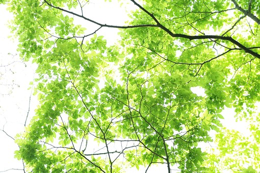 葉 緑 木 新緑 新芽 日本 木の葉 自然 植物 屋外 壁紙 背景 背景素材 バックグラウンド 光  環境 エコ 木漏れ日 こもれび 枝 さわやか 爽やか 初夏 若葉 森林 森