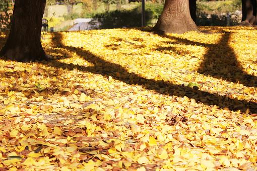 木の葉 木葉 枯葉 枯れ葉 落ち葉 落葉 植物 葉 葉っぱ 秋 自然 葉脈 銀杏 いちょう イチョウ 黄色い葉 秋イメージ 絨毯 影 日陰 日なた 日差し 晴天 晴れ 地面
