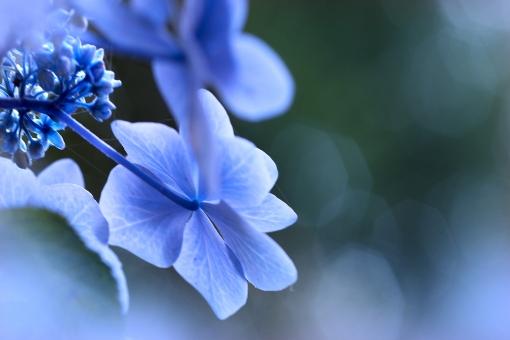自然 植物 花 あじさい 紫陽花 梅雨 梅雨時の花 雨 雨上がり 背景 テクスチャー 雨の似合う花 雨に咲く花 森 林 公園 庭 庭園 日本庭園 花壇 ガーデン 野山 山道 田舎道 里山 新緑 若葉 新芽 六月・七月に咲く花 野外アウトドア 光溢れる 光透過光 ブルーの花 青い花 季節感 暑中見舞い 待ち受け画像 コピースペース バックスペース 七夕の頃 縁日 お盆の頃 お寺の境内 神社仏閣 夏 初夏 夏の花
