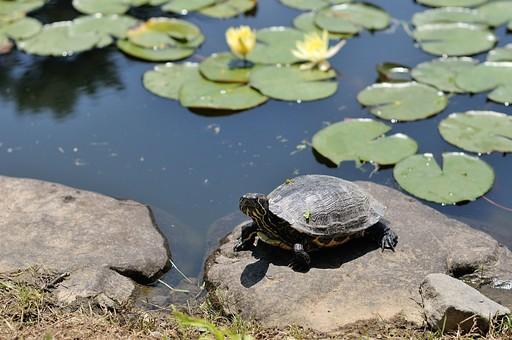亀 かめ カメ 花 蓮 ハス 蓮の花 蓮池 自然 背景 風景 植物 かわいい 美しい 屋外 緑色 葉 仏教 日本的 仏 供養 古代 釈迦 清楚な 極楽