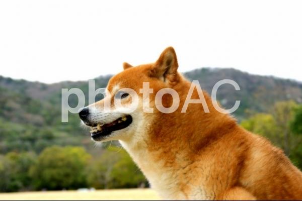 柴犬の写真