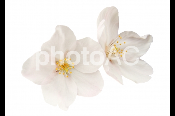 切り抜き写真素材 桜の花びら 16-04の写真