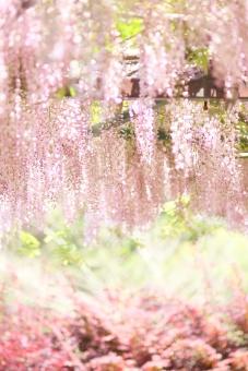植物 花 藤 4月 5月 ピンク ハイキー 大型連休 行楽 春 初夏 シャングリラ 楽園 明るい 白 花園 幸せ 縦位置 余白 背景 イメージ 幸福 快楽 ニッコール 非ai ニコン クラッシック アンティーク レンズ フィルム アダプター