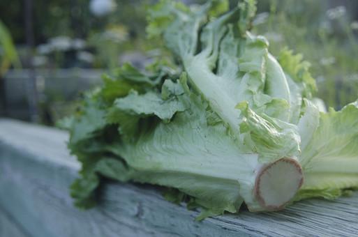 レタス 葉レタス 葉物野菜 緑 サラダ 生野菜 植物 野菜 食料品 食品 食べ物 食べる 健康 フレッシュ 新鮮 自然 ダイエット 食材 農業 収穫 栄養 葉 食物繊維 屋外 外