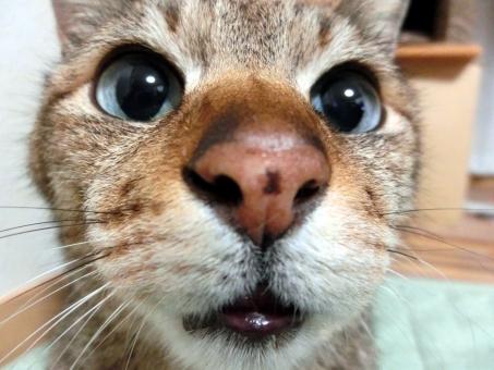 猫 ネコ 顔 アップ カメラ目線 より目 鼻デカ ヒゲ 口 目を開けた 視線 見つめる 接写 表情 かわいい 家猫 飼い猫 室内猫 ペット 考え中 悩み中 考え事 う~ん 瞳 大きな目 ちゃこ 動物 マクロ 可愛い 生きもの