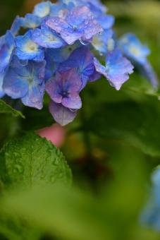 花 植物 雨 梅雨 ガーデニング 6月 雨期 湿度 余白 あじさい アジサイ 水滴 縦位置 緑 グリーン 蒼 青 ブルー 酸性