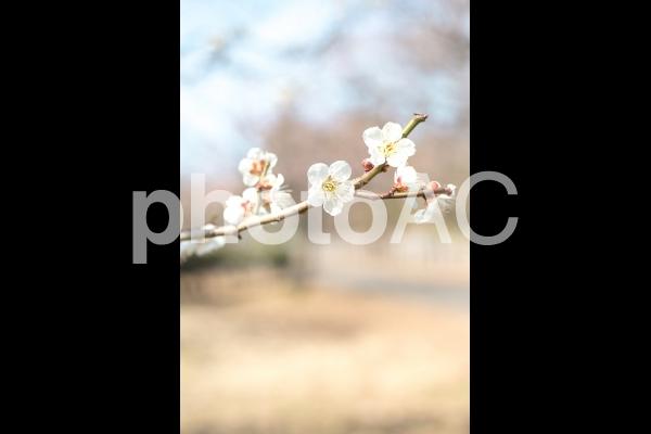 白い梅の花と空 冬の終わりの昼間の写真