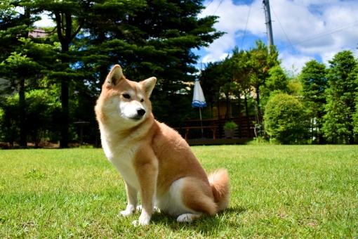 柴犬・振り返る・芝生の写真