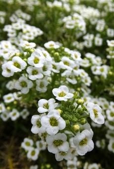 夏 なつ ナツ summer satochi サトチ 花 はな ハナ flower スイートアリッサム すいーとありっさむ 庭萕 にわなずな ニワナズナ においなずな ニオイナズナ 春 はる ハル spring 白 しろ シロ ホワイト white