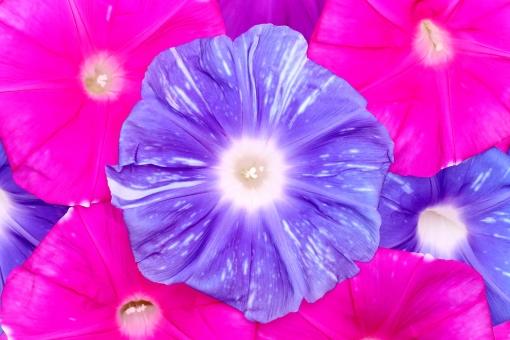 朝顔 アサガオ あさがお 花 花びら アップ 接写 クローズアップ マクロ 植物 背景 背景素材 背景イメージ 質感 自然 模様 カラフル 色とりどり 鮮やか 赤色 紫色 赤紫 青 青色 青紫 花弁 テクスチャ テクスチャー 成長 開花 ガーデニング ガーデン 夏 イメージ 日本 バックグラウンド スタジオ スタジオ撮影